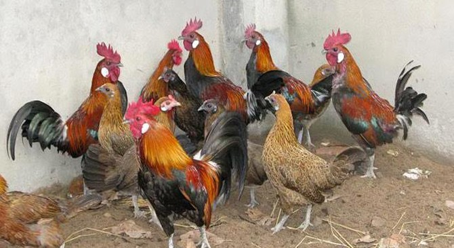 Trại gà rừng 1 triệu USD lớn nhất Việt Nam