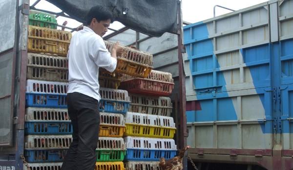 Nhập khẩu gia cầm Trung Quốc: Phải có hàng rào kỹ thuật đủ mạnh