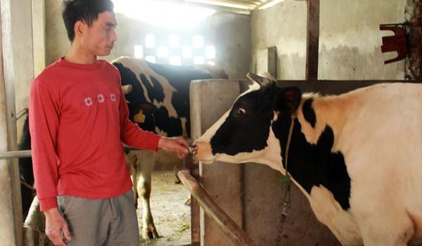Vắt sữa bò ra... nước mắt!