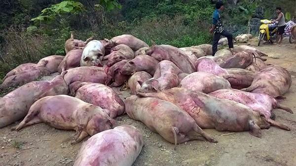 Chủ tịch UBND tỉnh Cao Bằng lên tiếng vụ hàng chục xác lợn chết bị lấy về ăn