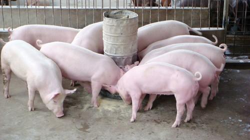 Trung Quốc tăng mua lợn mỡ