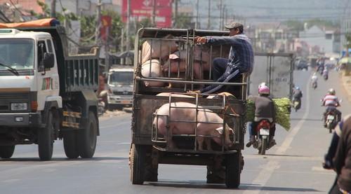 Thương lái ồ ạt gom heo đi Trung Quốc
