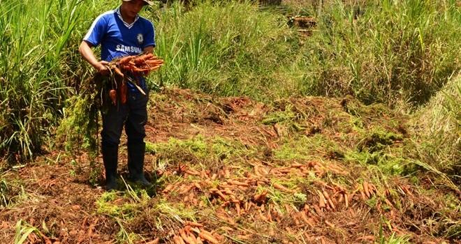Cà rốt rớt giá, nhiều hộ nhổ bỏ cho bò ăn