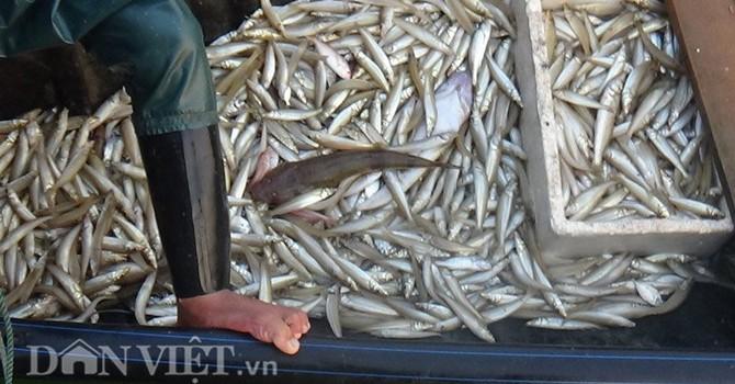 800kg cá từ vùng cá chết suýt lên bàn ăn