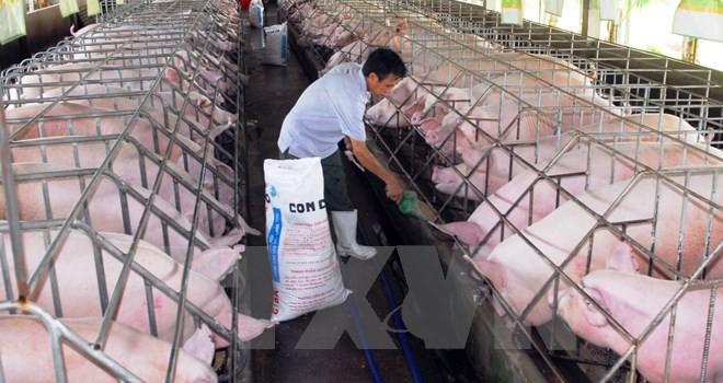 Thương lái Trung Quốc đột ngột giảm mua khiến lợn sụt giá