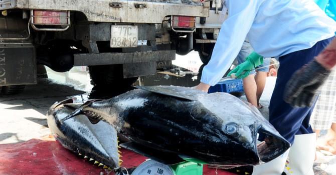 Vin cớ cá miền Trung chết, thương lái ép giá ngư dân