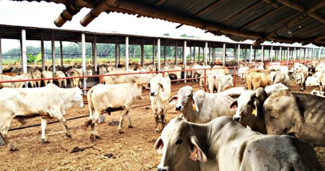 Úc cấm xuất trâu, bò sang Việt Nam vì nghi ngờ ngược đãi động vật