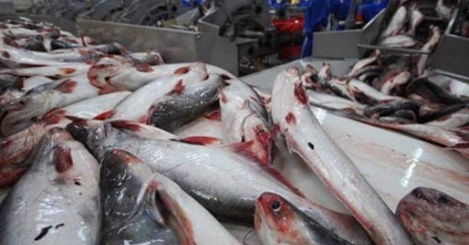 """Cẩn trọng khi thương lái Trung Quốc mua cá tra """"quá lứa"""""""