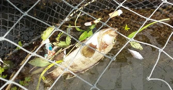 Thanh Hóa: Xác định nguyên nhân cá chết hàng loạt ở biển Nghi Sơn