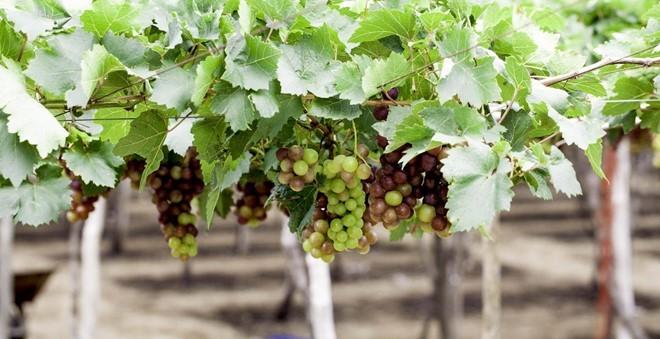 Người Hà Nội rủ nhau trồng nho Ninh Thuận