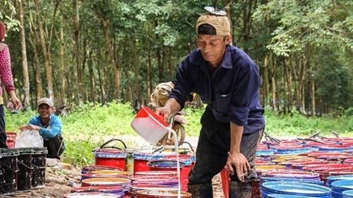 Nếu Hoàng Anh Gia Lai bán cao su tại Lào...