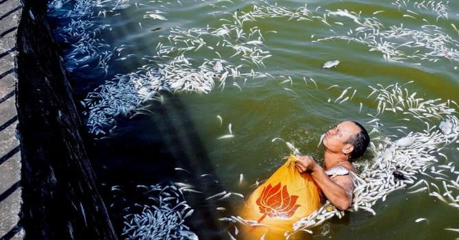 Cá chết trắng hồ Tây là hiện tượng chưa từng xảy ra