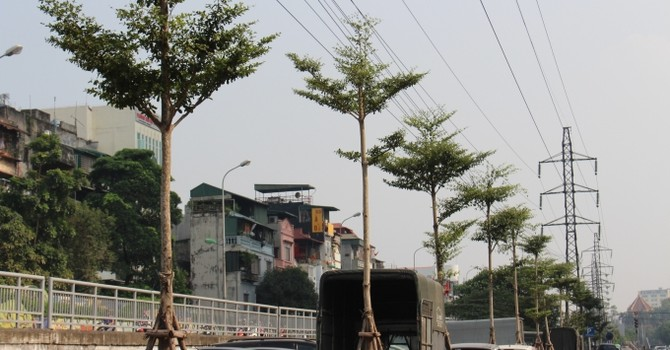 Hàng trăm cây xanh được trồng dưới đường điện cao thế trên nhiều tuyến phố Thủ đô