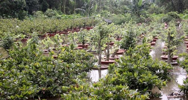 Hàng nghìn gốc mai Tết ngập nước, nông dân Sài Gòn than trời