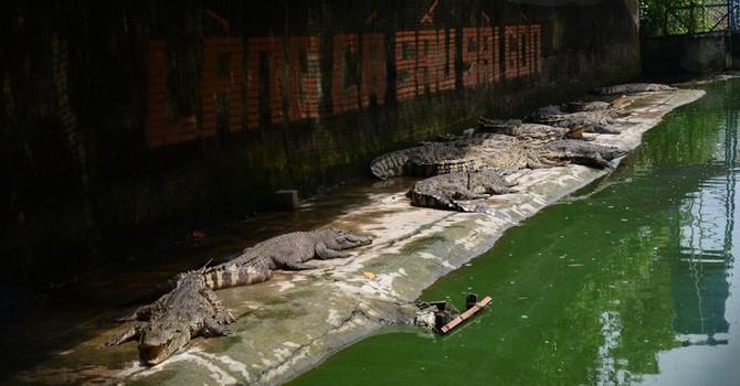 """Giá rớt thảm, hàng vạn con cá sấu đói lả """"chờ chết"""""""