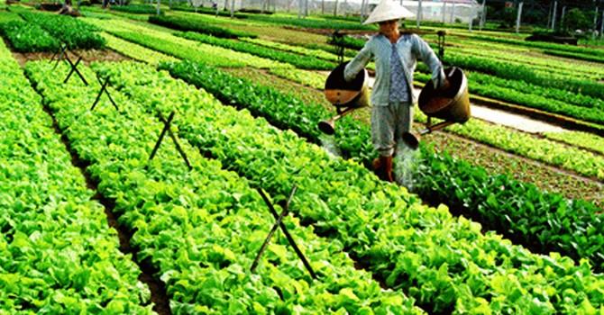 Hội An: Công nhận làng nghề rau truyền thống Trà Quế