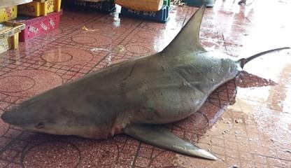 Bắt được cá mập 80kg ở Bình Định