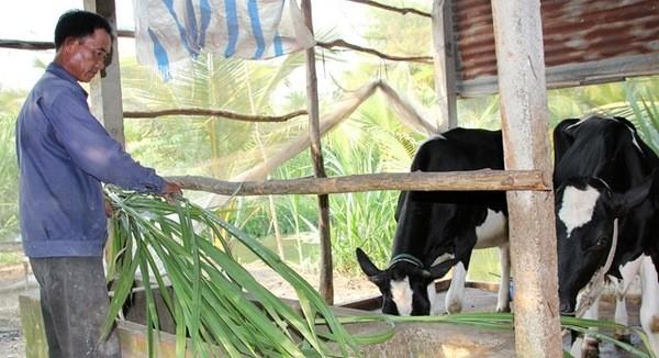 Nông dân Củ Chi bán tháo bò, vắt sữa cho heo uống