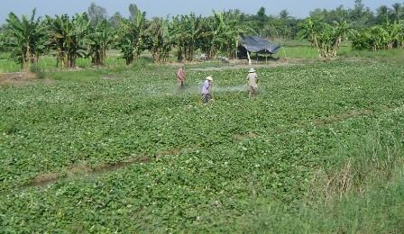 Thương lái Trung Quốc lại thu mua nông sản lạ