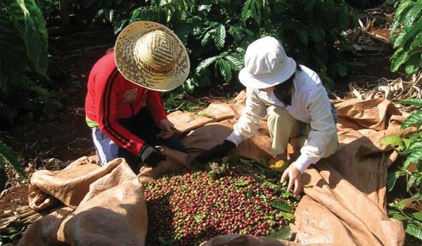 Ba thách thức cho sàn giao dịch cà phê
