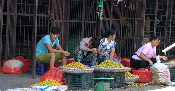 Mận Tàu đội lốt Sapa: Hà thành đua nhau ăn quả lừa