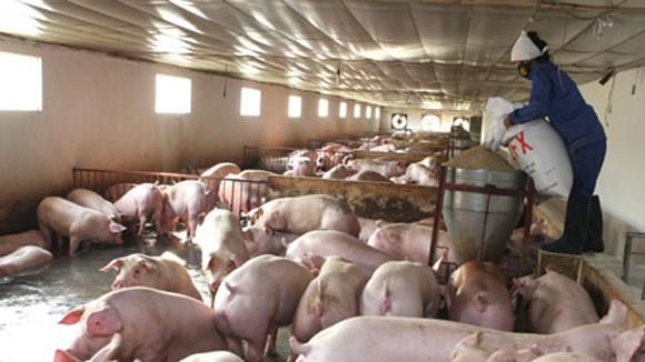 Hội nhập TPP: Nỗi lo chăn nuôi