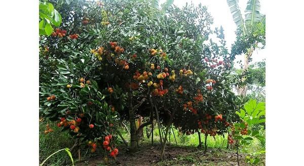 Sợ mất mùa, rớt giá, nông dân vựa trái cây cho thuê cả vườn