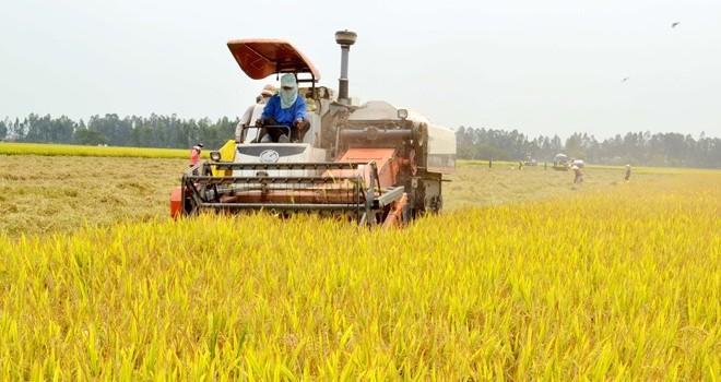 """""""Bão"""" giảm giá gạo xuất khẩu: Người trồng lúa tiếp tục """"úa""""..."""