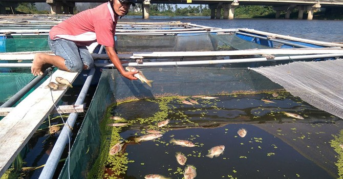 Dân mếu máo khi 20 tấn cá chết trắng lồng