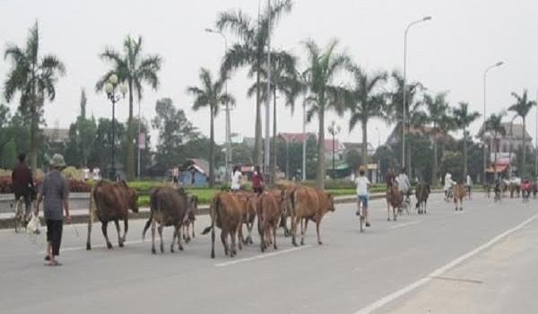 Chuyện lạ Đà Nẵng: Xây trại tạm giam cho bò