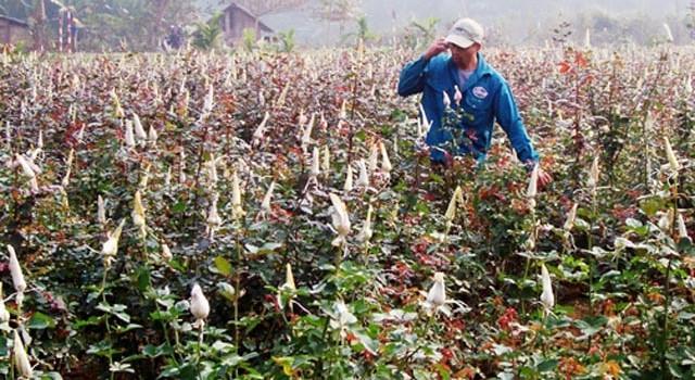 Thuê đất trồng hoa, nông dân thu lãi hàng trăm triệu đồng