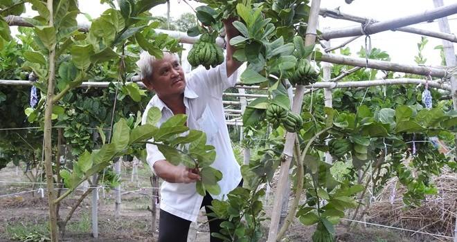 Tây Ninh: Trồng cây phật thủ cho thu nhập 300 triệu đồng mỗi năm