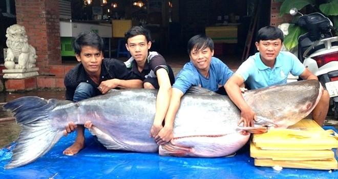 Cá tra dầu nặng 200 kg, dài 2 m về Sài Gòn