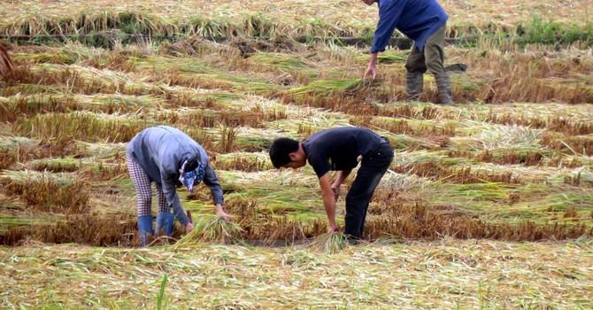 Bảo hiểm nông nghiệp mới chỉ dừng lại ở mức độ thí điểm