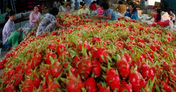 Trung Quốc tiêu thụ mạnh thanh long Việt
