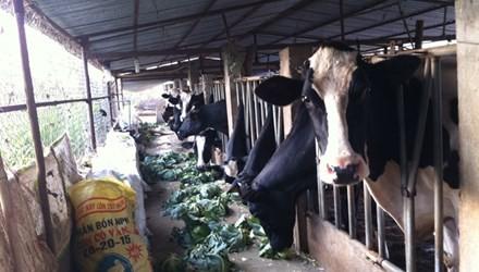 Nỗi lo của nông dân nuôi bò