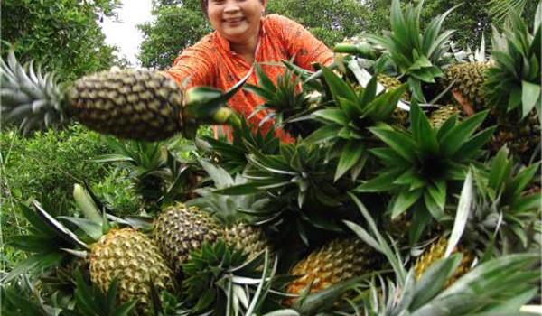 Lãi hơn 40 triệu đồng/ha từ trồng dứa