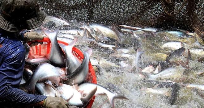 Giá cá tra thấp kỷ lục trong 6 năm