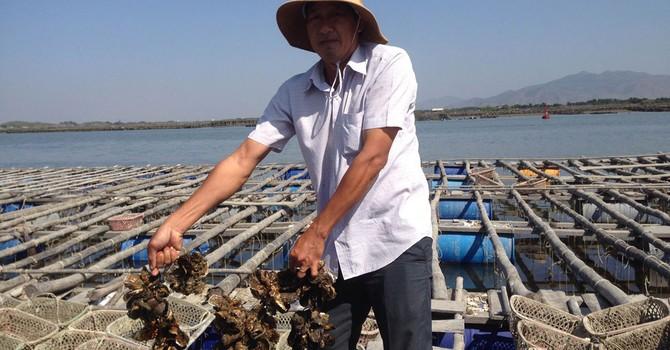 Bí quyết làm giàu: Nuôi hàu Thái Bình Dương thu tiền tỷ