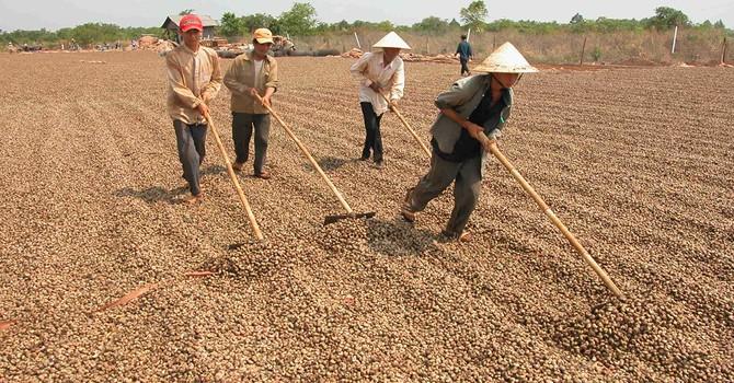 Việt Nam chiếm 50% thị trường điều thế giới