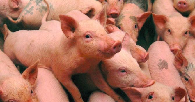 Trung Quốc trong cơn khủng hoảng thịt lợn