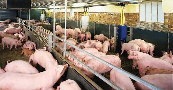 Lại ùn ùn chở lợn bán sang Trung Quốc
