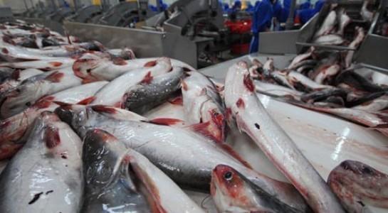 Cảnh giác với thông tin thương lái Trung Quốc mua cá tra quá lứa