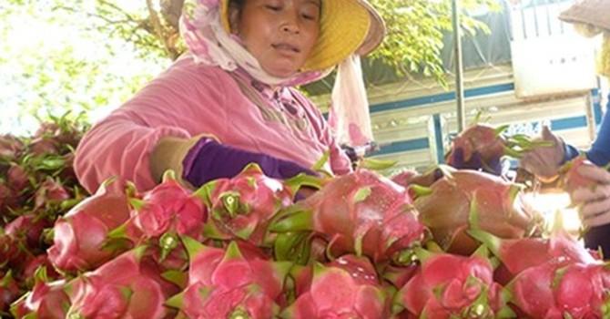 Từ vườn đến người bán lẻ, mỗi kg thanh long tăng 7.000 đồng