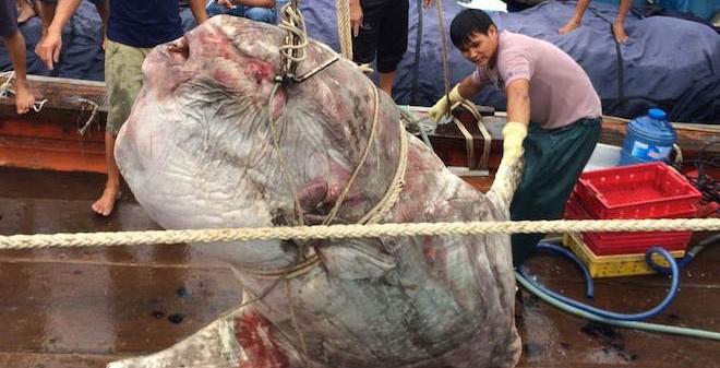 Ngư dân Nghệ An bắt được cá mặt trăng gần 1 tấn