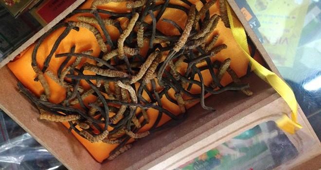 Đông trùng hạ thảo giá 40 triệu/ kg tại Sài Gòn