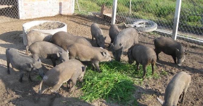 Những tỷ phú trẻ tuổi nhờ phong trào nuôi lợn rừng