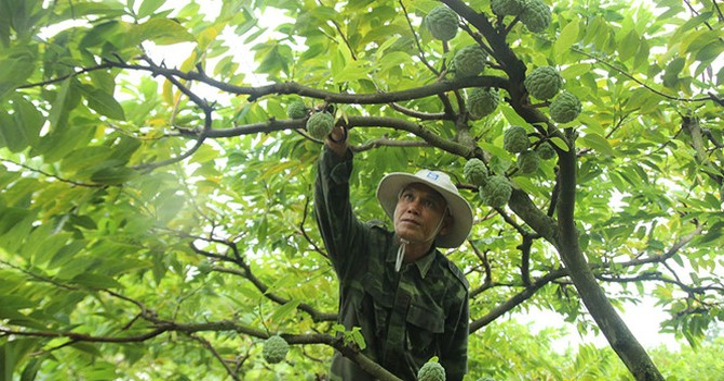 Hái ra tiền nhờ cây na mọc quả từ thân
