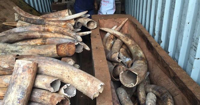 Hơn 2 tấn ngà voi nhập lậu tinh vi ở Cảng Cát Lái là ngà voi châu Phi
