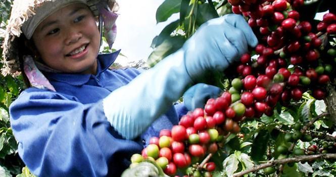 Indonesia tung chiêu cầu ảo về cà phê?